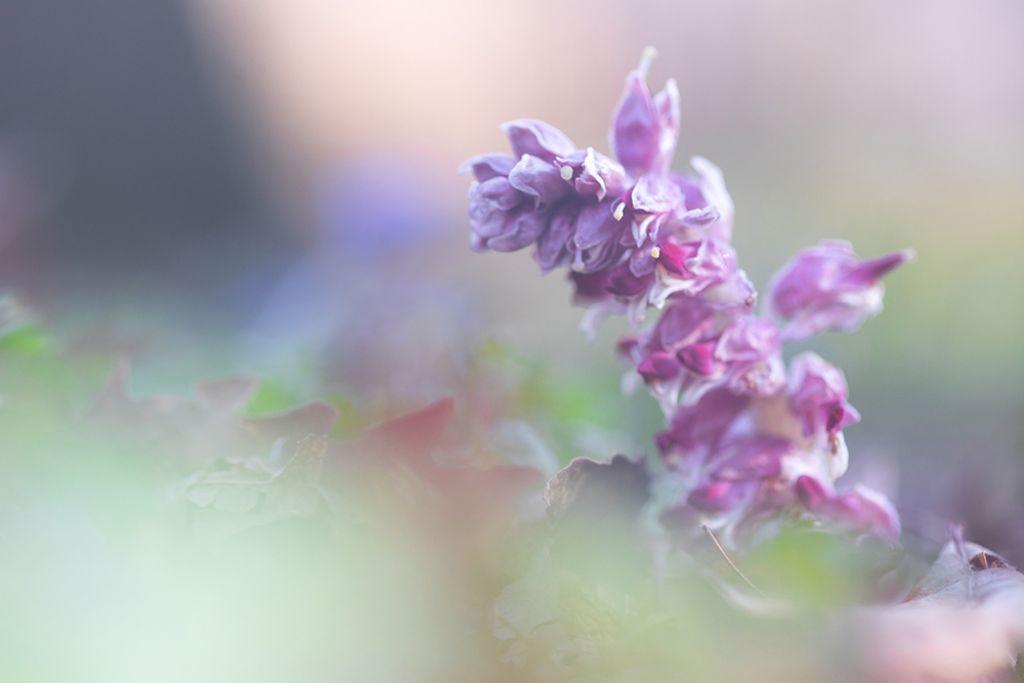Lathraea squamaria (Orobanchaceae)