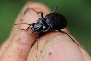 Unknown Carabidae -> Nebria sp.?  Sì, Nebria kratteri