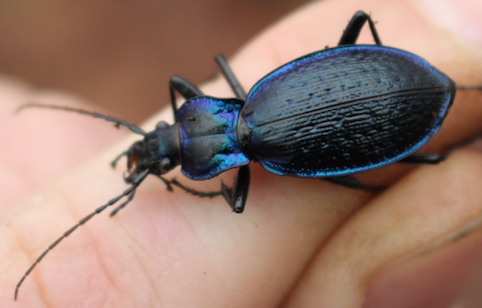 Carabidae: Carabus (Chaetocarabus) lefebvrei ssp. bayardi