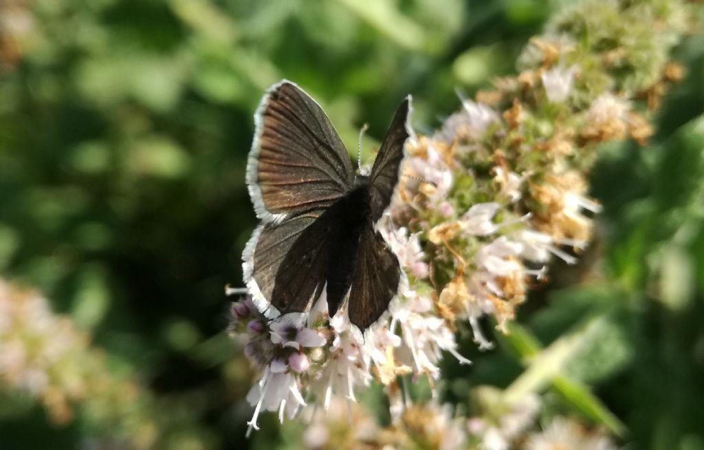 Cupido (Everes) alcetas, femmina Lycaenidaee