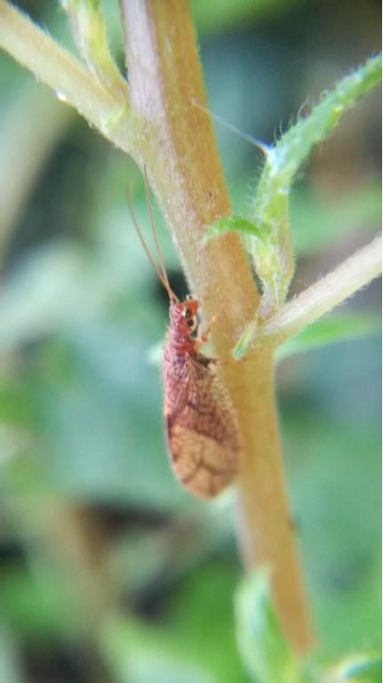 Micromus angulatus (Hemerobiidae)