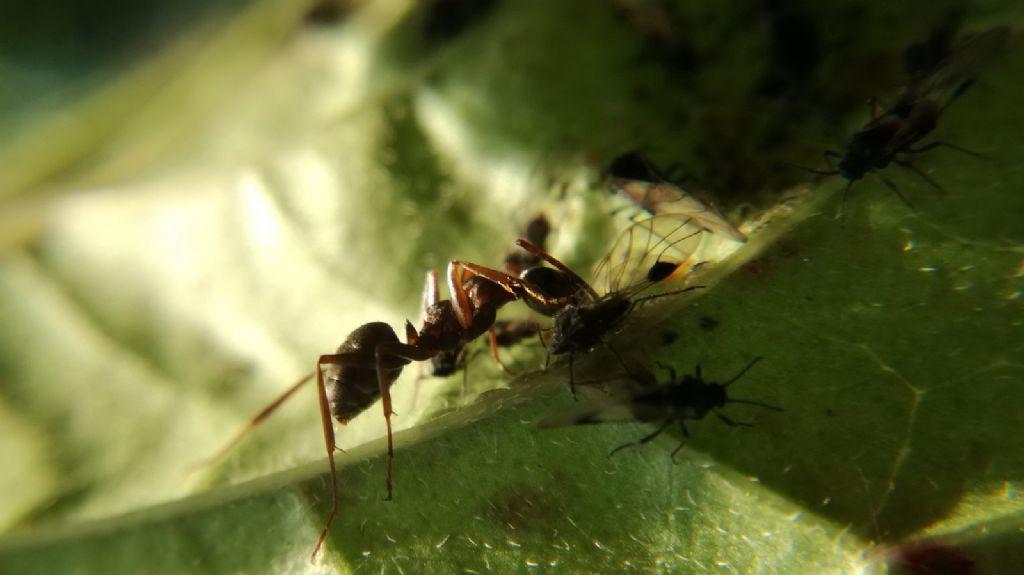 Homoptera Sternorrhyncha; Psilloideo.