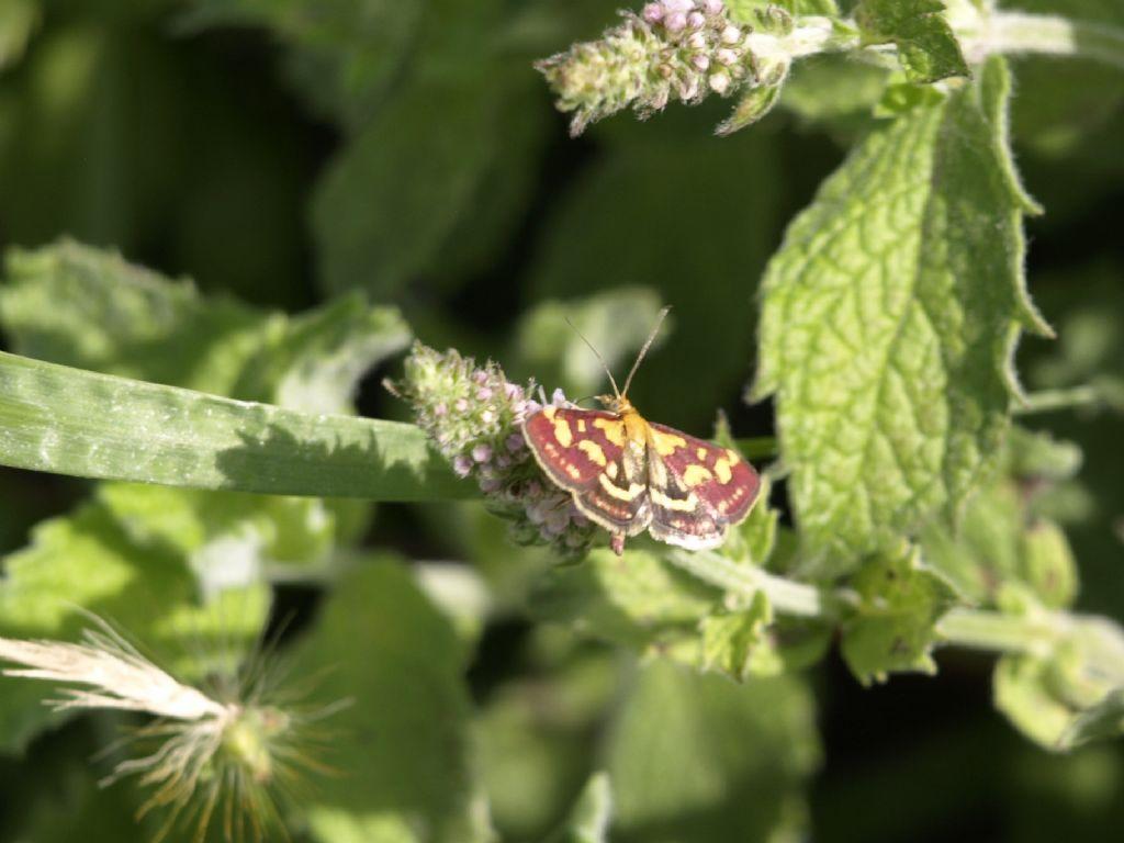 Pyrausta purpuralis  (Crambidae)
