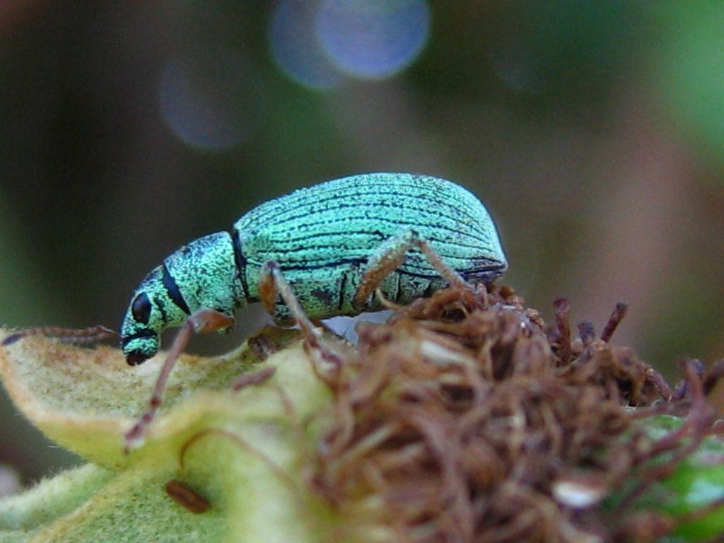 Coleottero Curculionidae da determinare