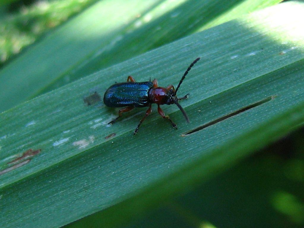 Chrysomelidae: Oulema melanopus oppure O. duftschmidi
