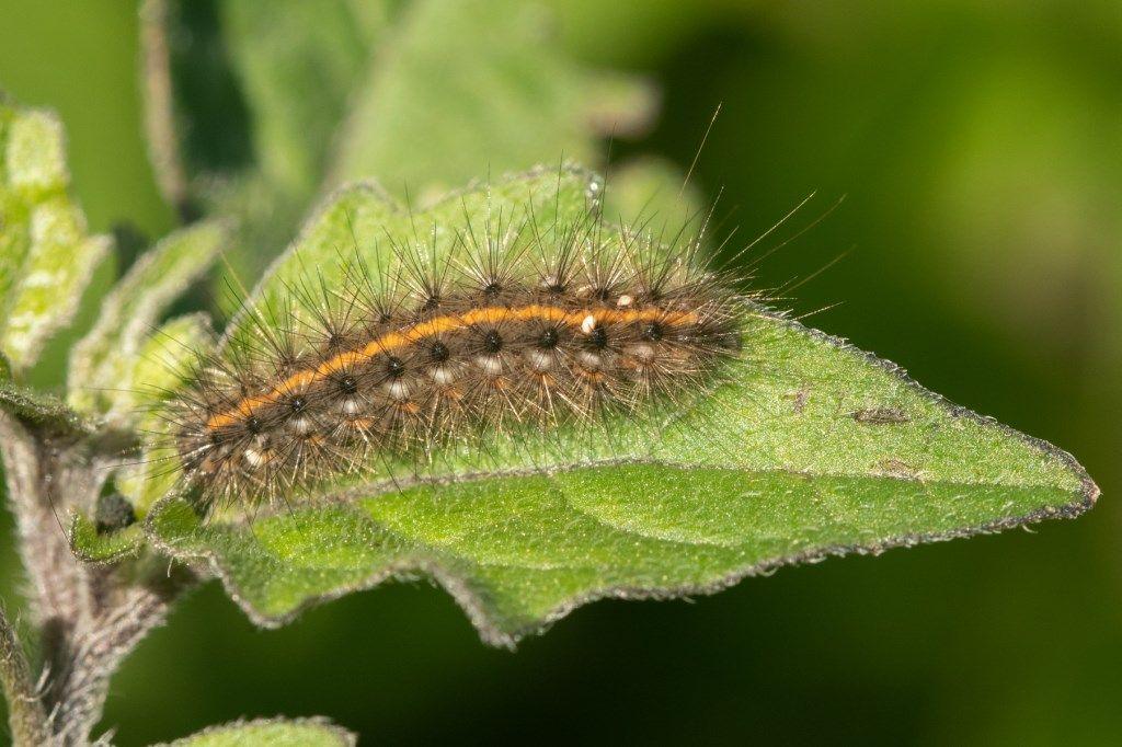Phragmatobia fuliginosa - Erebidae