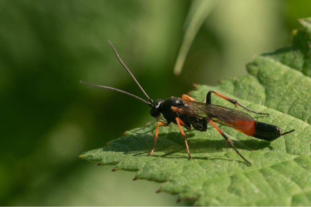 Ichneumonidae Campopleginae: Dusona sp.