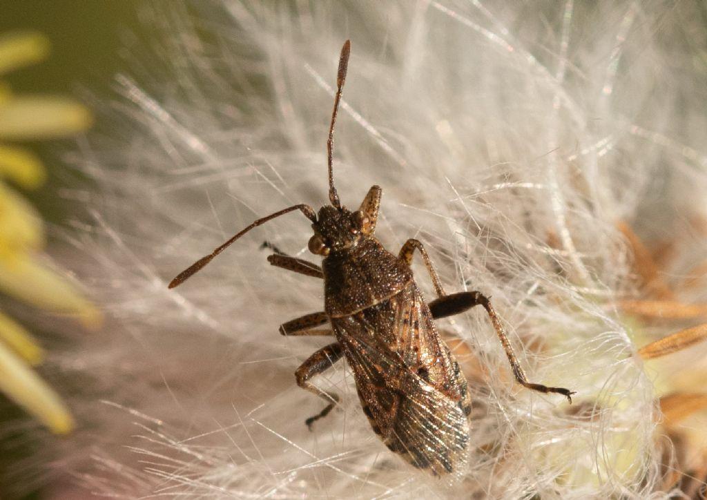 Rhopalidae: Stictopleurus  punctatonervosus