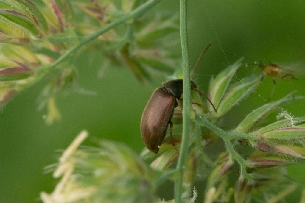 Tenebrionidae Alleculinae: Isomira sp.