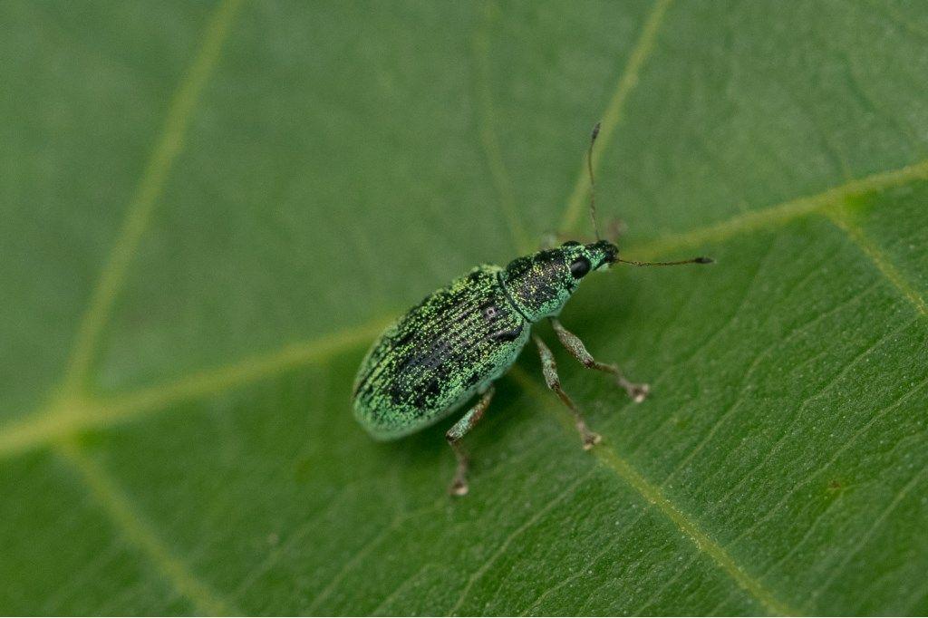 Curculionidae: Polydrusus sp.