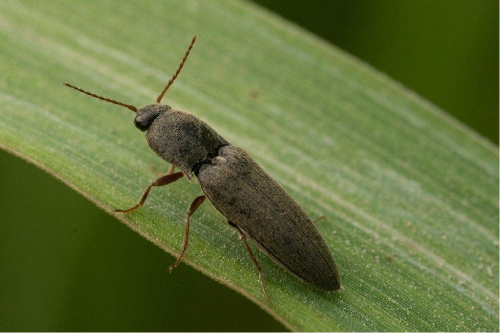 Elateridae: forma scura di Agriotes litigiosus