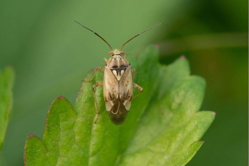 Miridae: Lygus rugulipennis ?  Sì !
