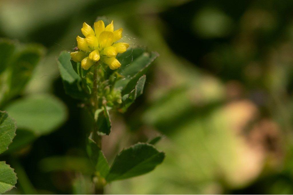 Trifolium dubium ?  Sì !