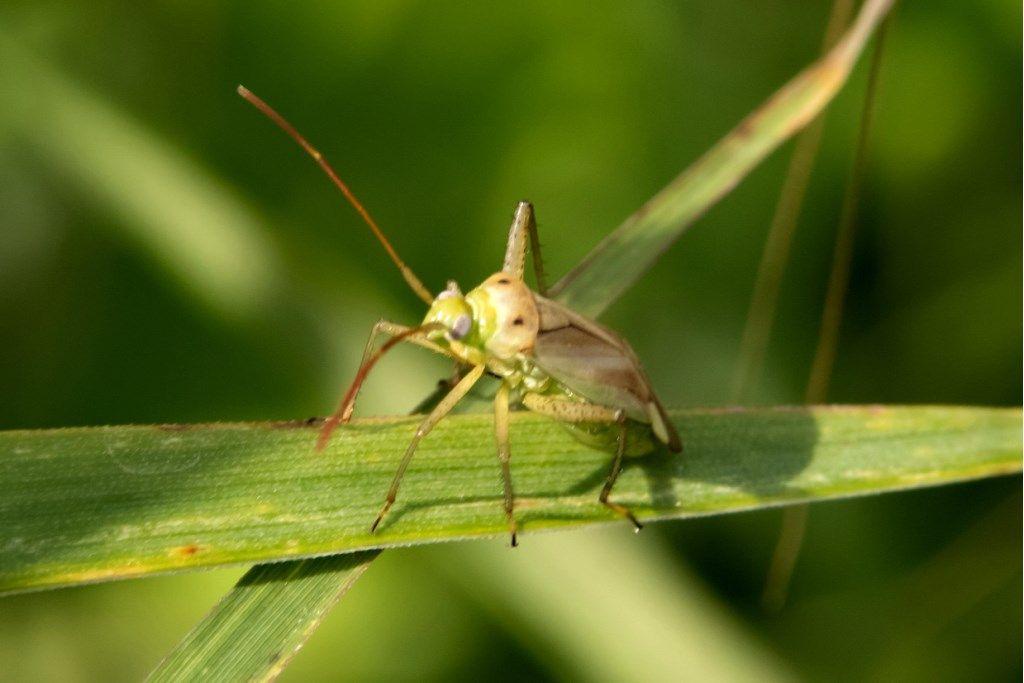 Miridae: Adelphocoris lineolatus