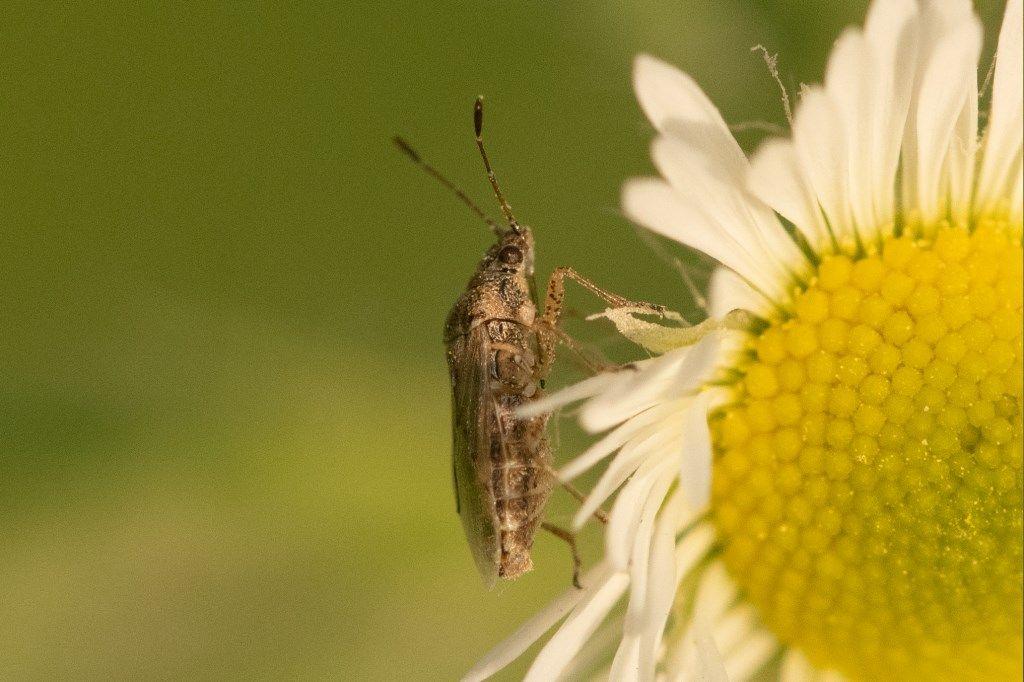 Rhopalidae ? No, Lygaeidae: Nysius senecionis