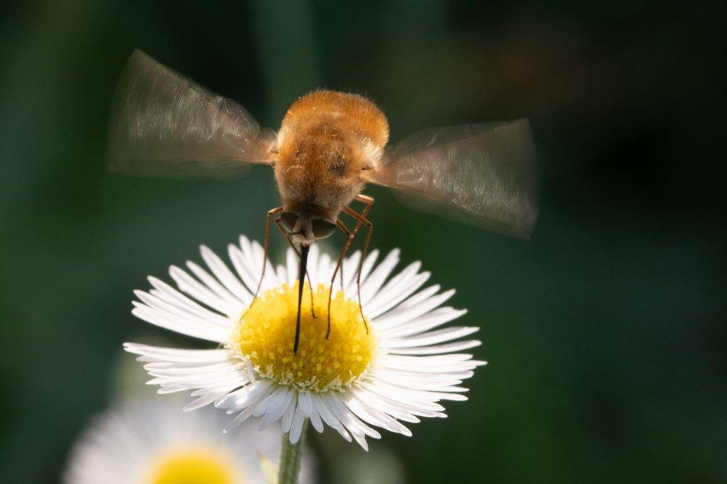 Bombyliidae sp.