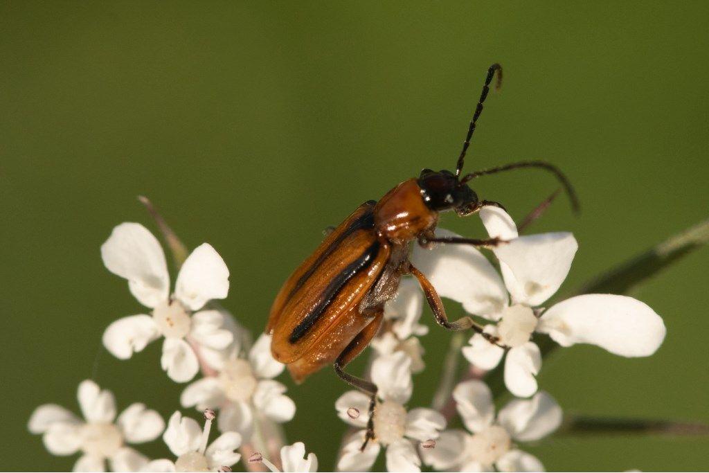 Chrysomelidae: Diabrotica virgifera? Sì.