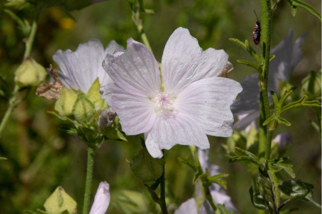 Malvaceae: Malva alcea