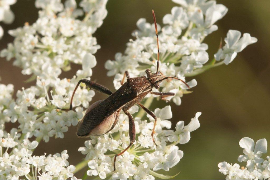 Alydidae: Camptopus lateralis?  Sì !