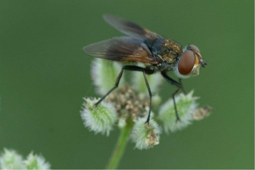 Tachinidae:  Ectophasia sp. (E.  crassicornis o E. oblonga), femmina