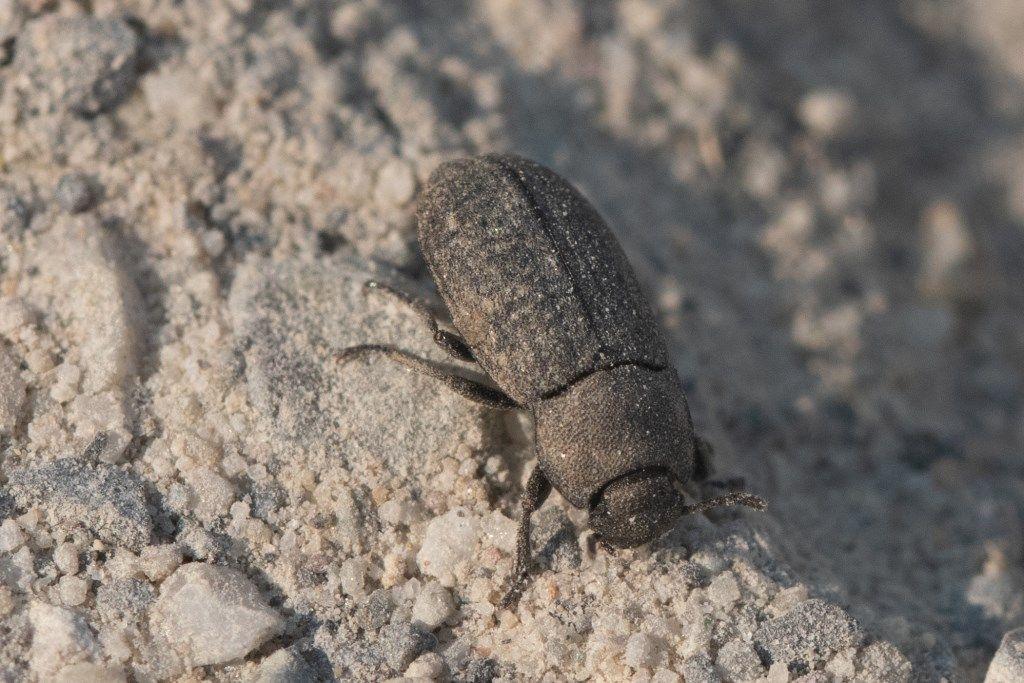 Gonocephalum granulatum ssp. nigrum, Tenebrionidae.