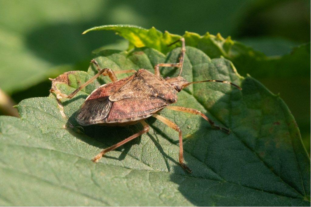 Pentatomidae: Halyomorpha halys