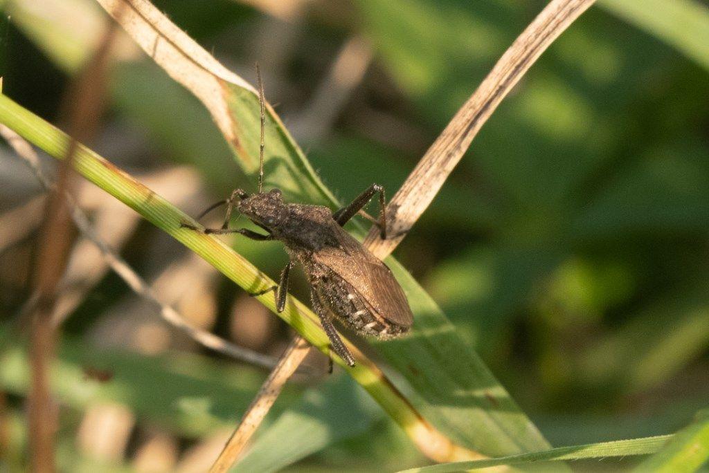 Alydidae: Alydus calcaratus