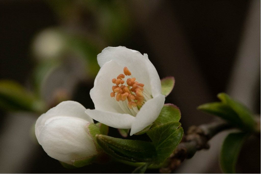 Prunus cerasifera / Mirabolano