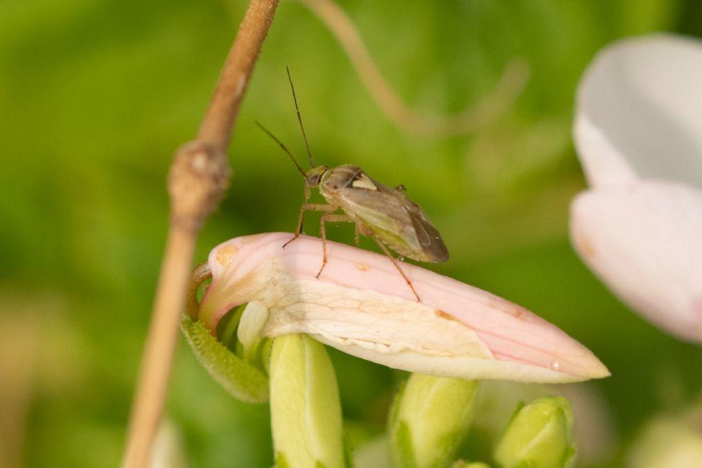 Miridae: Lygus rugulipennis