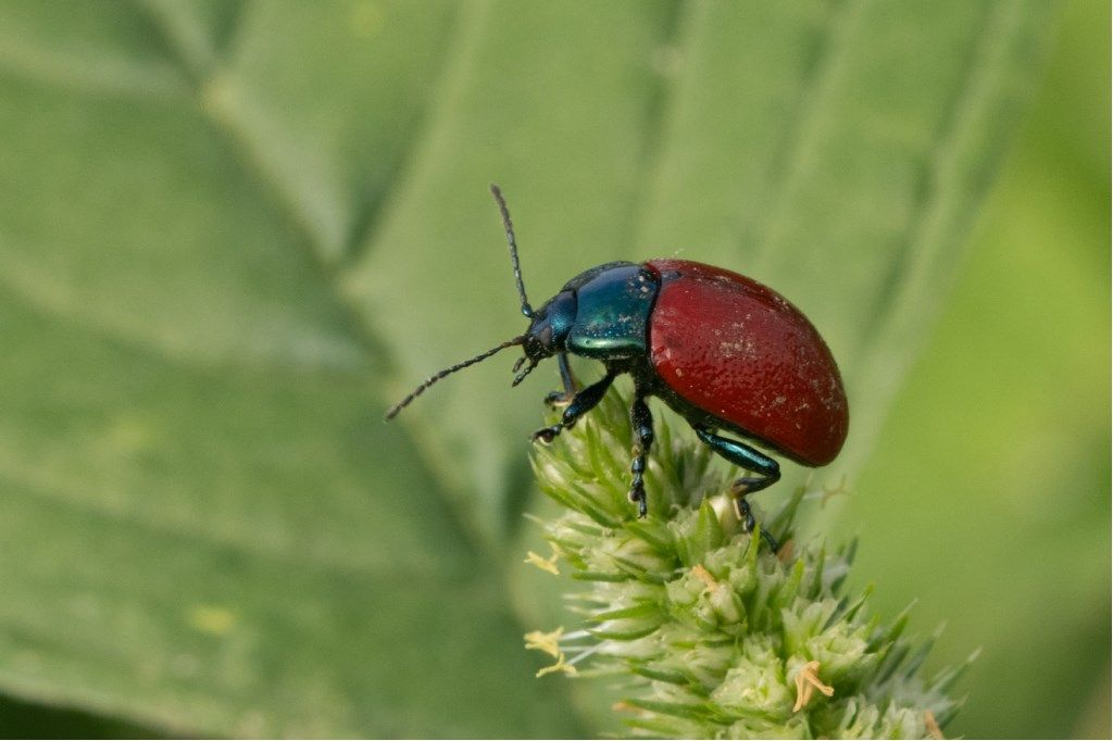 Chrysomelidae: Chrysolina grossa