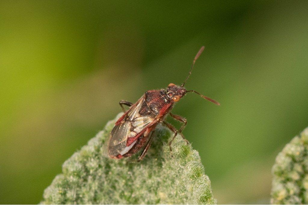 Rhopalidae ?  Sì, Liorhyssus hyalinus