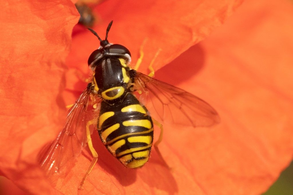 Syrphidae: Chrysotoxum sp., femmina