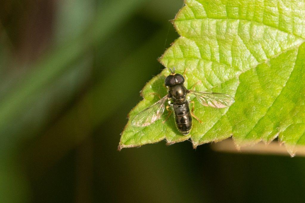 Syrphydae: Paragus gr. tibialis, maschio