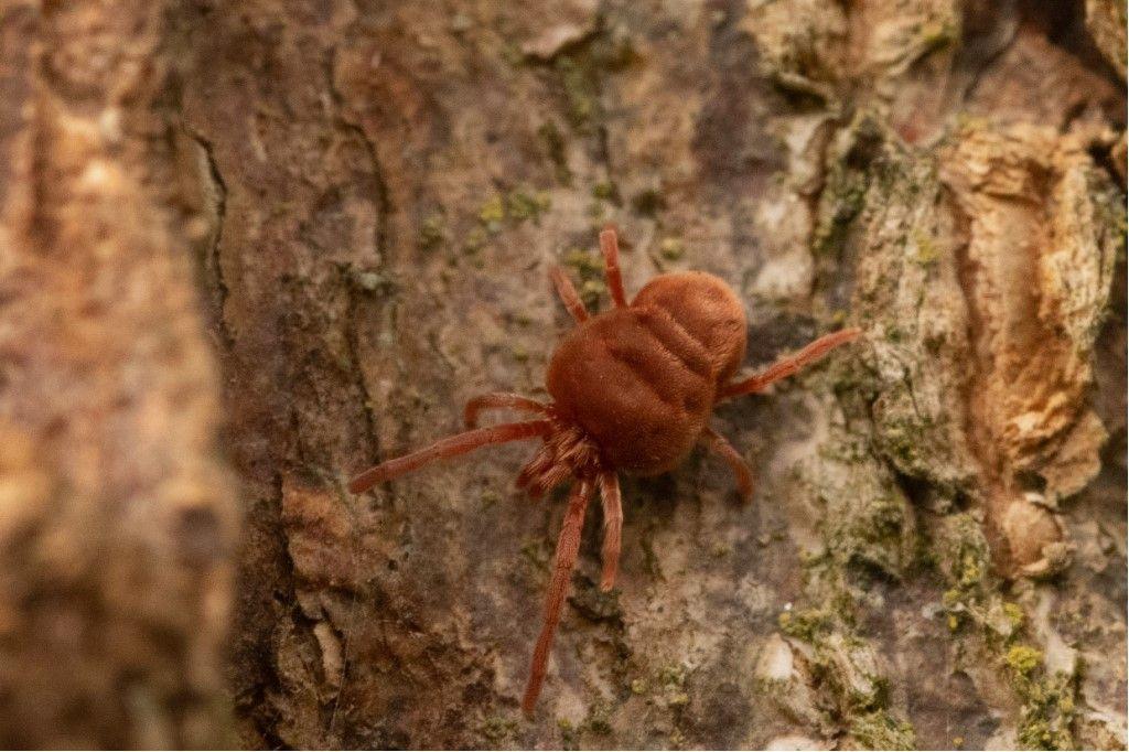 Identificazione Trombidiidae