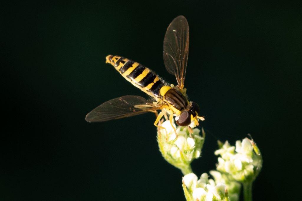 Syrphidae: Sphaerophoria scripta, femmina