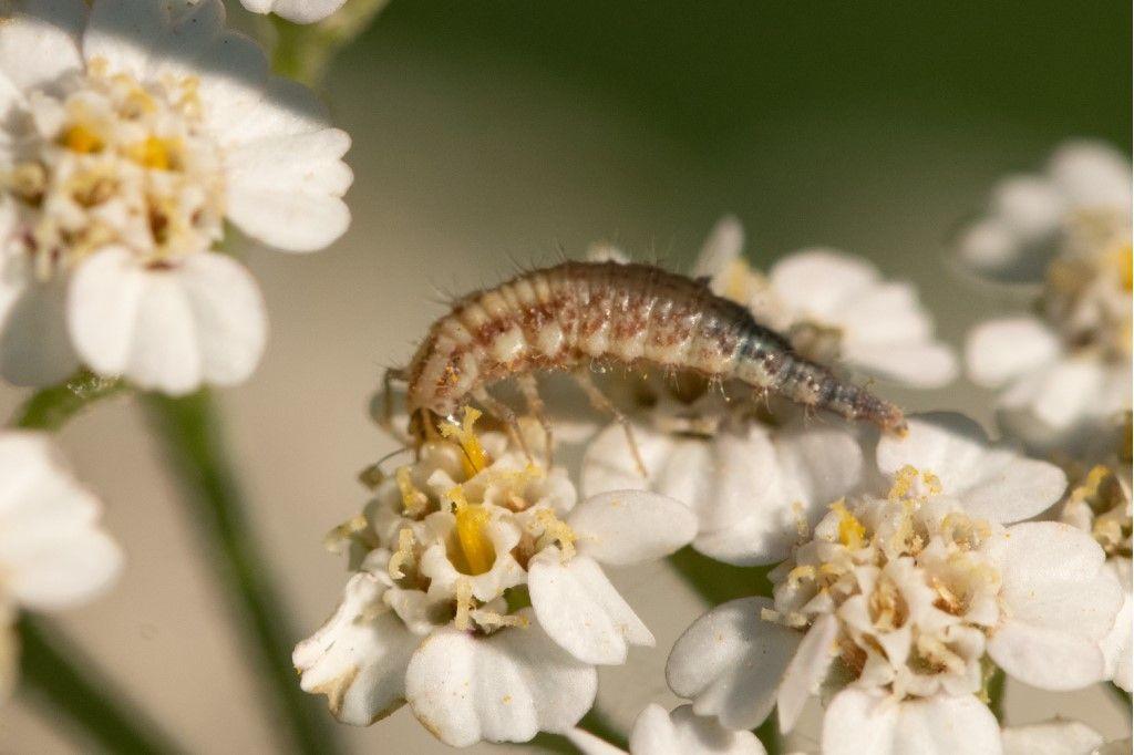 Larva di dittero Syrphidae ? No, di neurottero Chrysopidae: cfr. Chrysoperla sp.