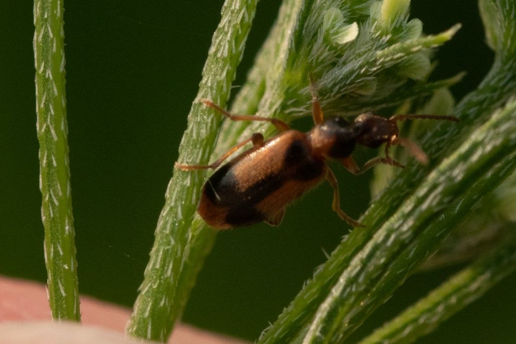 Carabidae? No, Anthicidae, Notoxus sp.