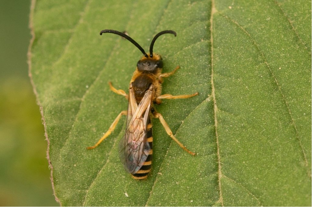Halictidae: Halictus scabiosae., maschio