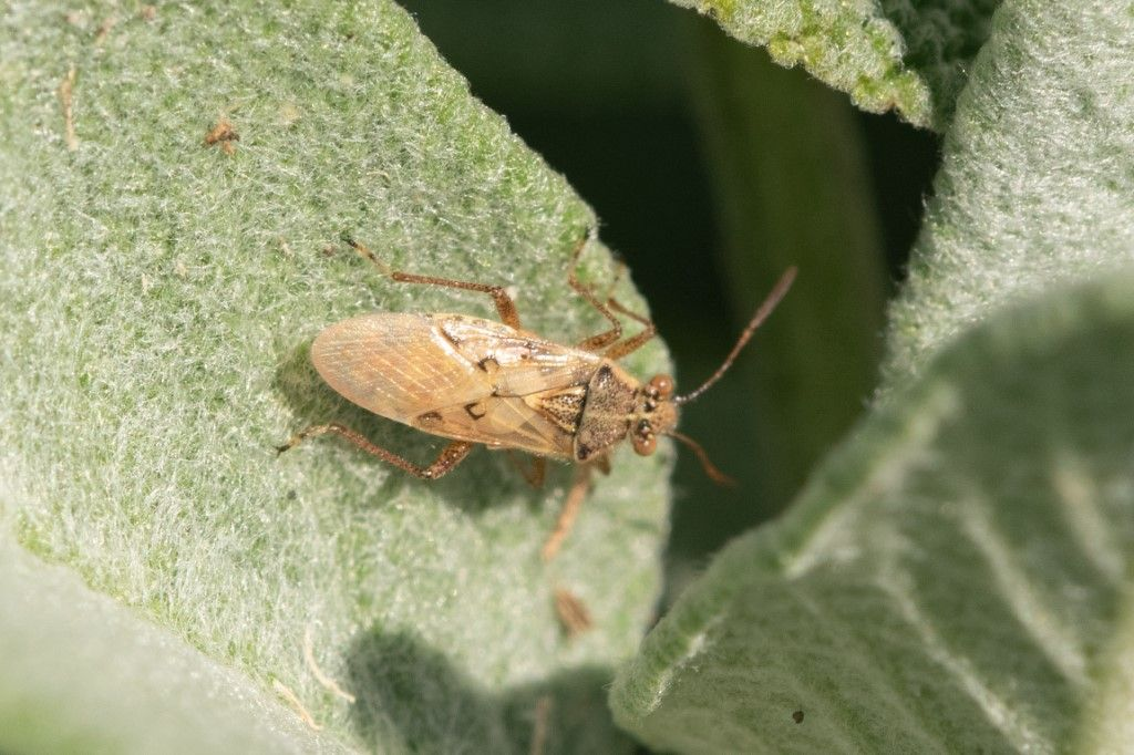 Liorhyssus hyalinus delkla campagna cremasca