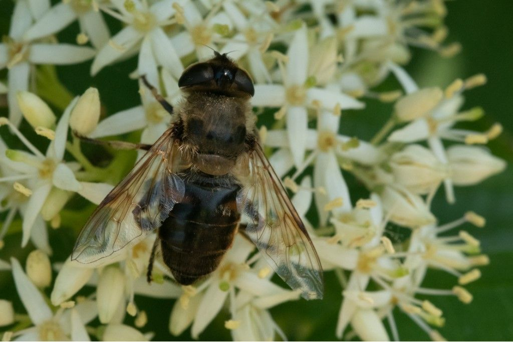 Syrphidae: Eristalis sp., femmina