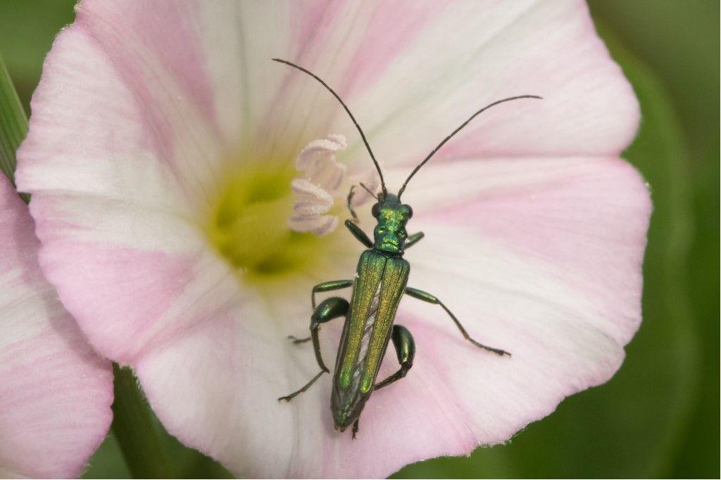Oedemeridae: Oedemera sp. e Oedemera nobilis, maschio.