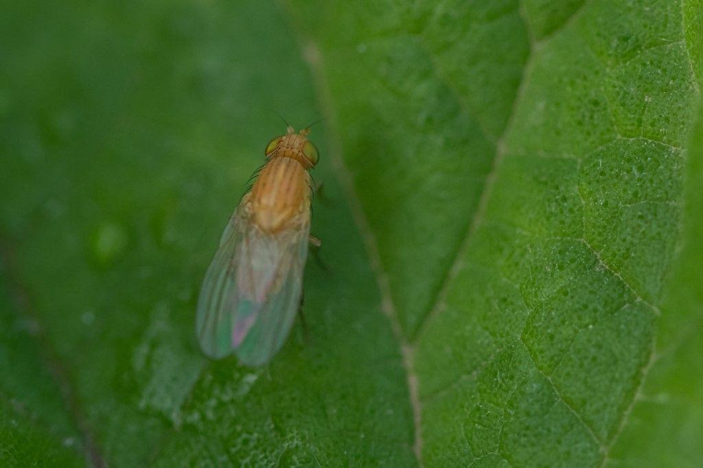 Diptera da determinare