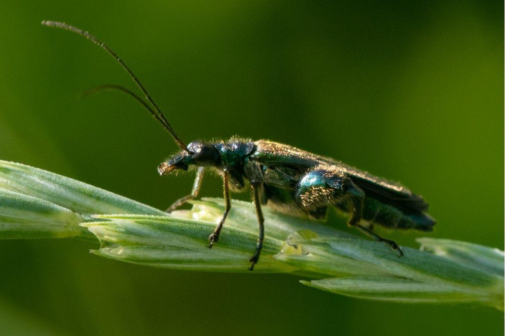 Oedemeridae: Oedemera nobilis? Sì e Oedemera sp. (cfr. gr. lurida)