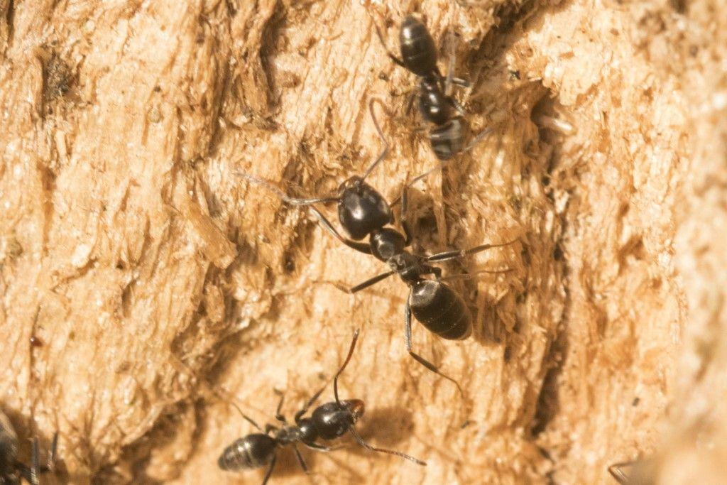 Formicidae: Tapinoma sp.