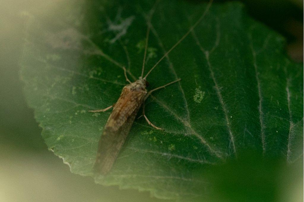 Trichoptera da identificare. - Hydropsyche sp.