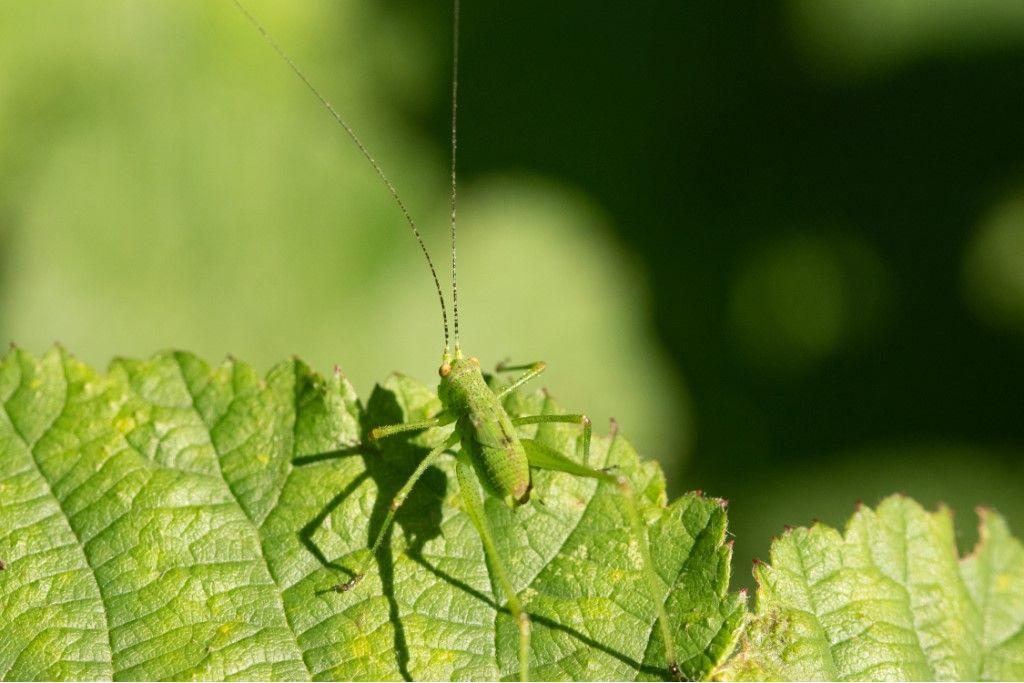 Neanide di Phaneroptera ?