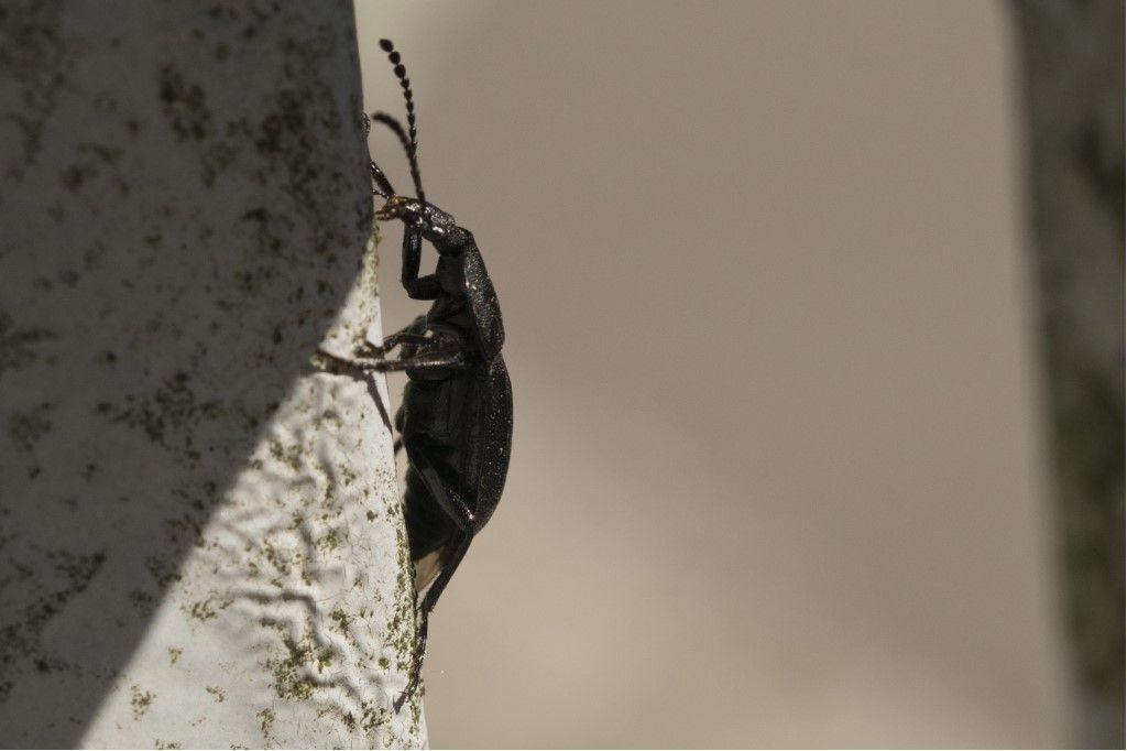 Silphidae: Phosphuga atrata