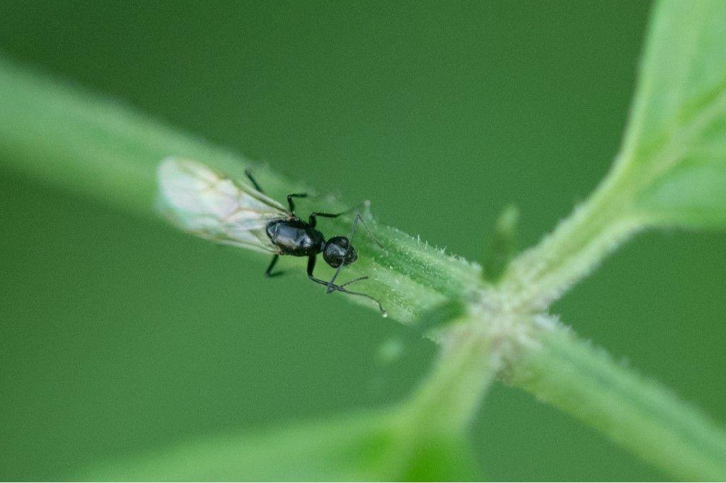Formicidae sp., maschio