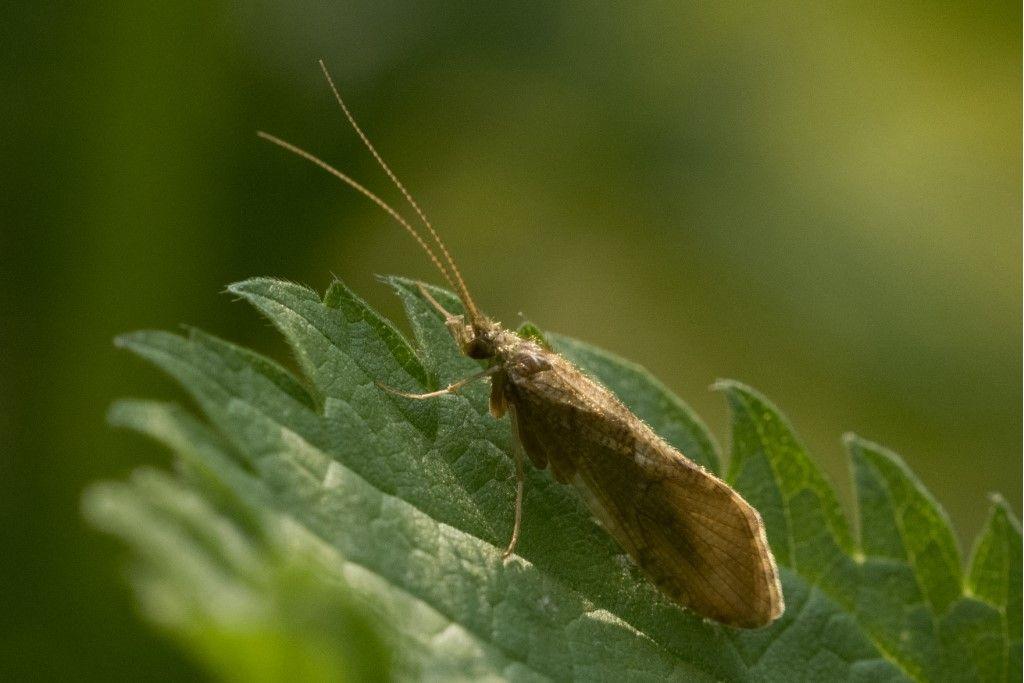 Trichoptera da identificare.