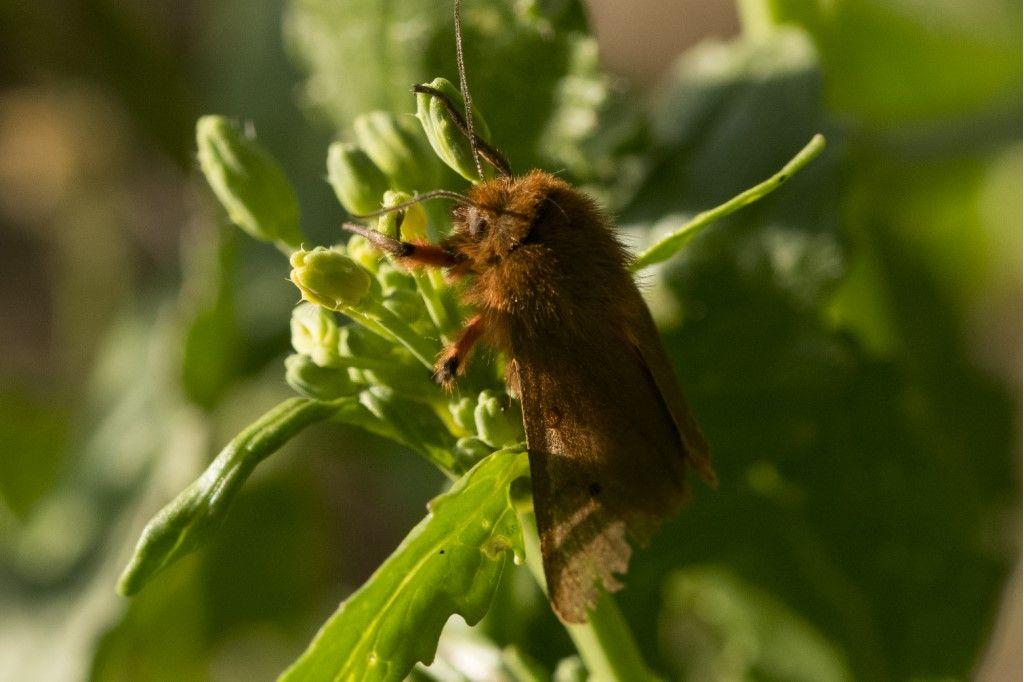 Phragmatobia fuliginosa - Erebidae Arctiinae